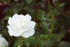 White rose on background of greens. Selective focus, toned image, film effect. White rose on on background of greens. Selective focus, toned image, film effect Stock Photos