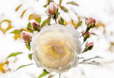 White  rose, backlit Royalty Free Stock Photos