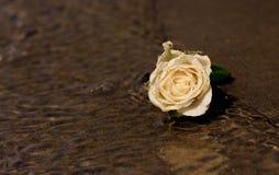 White rose on beach