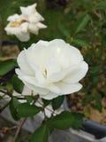 White  rose. Beautiful white  rose Royalty Free Stock Image