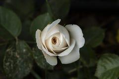 White Rose. Beautiful perfect white rose flower head stock image
