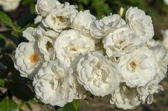 White rose biuatiful flower. White rose. , , , , nature royalty free stock photo