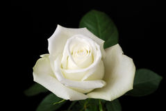 The white rose on black Royalty Free Stock Images