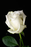 The white rose on black Stock Image