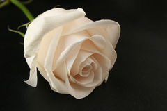 White rose on black Royalty Free Stock Images