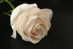 White rose on black Royalty Free Stock Images
