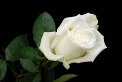 The white rose on black Stock Photos