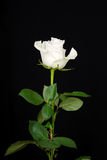 The white rose on black Stock Photography