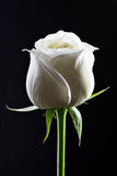 White rose in black background Stock Photo