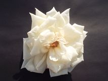 White rose on black background. The rose is a beautiful flower that we find in the gardens of houses but also in public gardens. We see a white rose on black royalty free stock photography