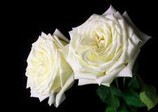 White rose on black background Stock Photography