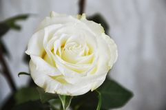 White rose on black background. White rose with green leaves on grey background stock image