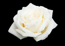 White rose on a black background Royalty Free Stock Image