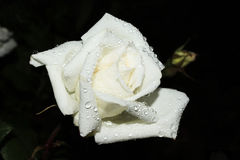 White rose on a black background Stock Image