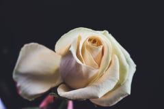 White Rose on black background royalty free stock photos