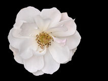 White rose on black Royalty Free Stock Photography