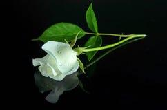 white-rose-black-mirroring-background-ph