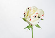 White Rose with Blood Droplets Stock Photo