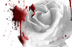 White rose in blood on valentine Royalty Free Stock Photo