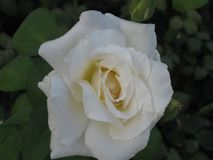 White rose bloom Royalty Free Stock Image
