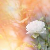 White rose bloom in a garden in sunshine. Stock Photo
