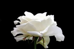 White rose in bloom  over dark backgroud Royalty Free Stock Photo