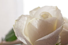 White Rose Blooming Royalty Free Stock Images