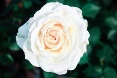 Beautiful white rose wallpaper royalty free stock photo