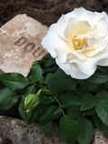 White Rose. Pure whiterose blooming in rock garden next to old brick Royalty Free Stock Photo