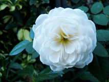 A white rose blooming. Royalty Free Stock Image