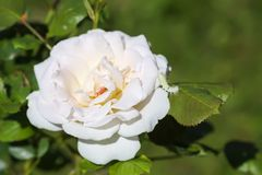 White rose blooming in summer park. Beautiful flower in sunlight. White rose blooming in summer park. Beautiful flower in bright sunlight royalty free stock photos