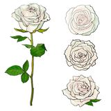 White rose blooms set with branch of summer flower and different buds in sketch style. Stock Image