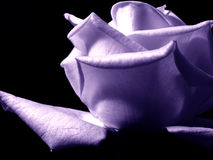 White rose. Blossom in Black and White Stock Photography