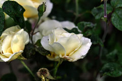 White rose. Royalty Free Stock Images