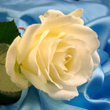White rose on blue. Satin in romantic light royalty free stock images