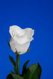 White Rose on Blue Background Royalty Free Stock Image