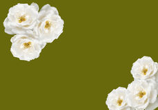 White rose bouquet background Royalty Free Stock Photo