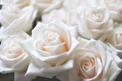 White Rose. Bouquet of white roses one of which is in the foreground Royalty Free Stock Photos