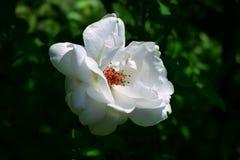 White rose briar blooming Stock Image
