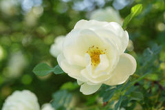 White rose briar blooming Stock Photo