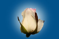 White rose bud. Blossoming bud of white roses on a green background Royalty Free Stock Photo