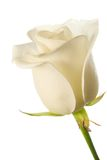 White rose bud Royalty Free Stock Image