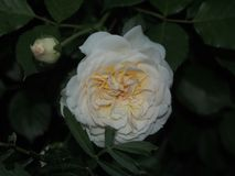 White rose Bud. Blossoming flower on the Bush. The white petals. Close-up Stock Image