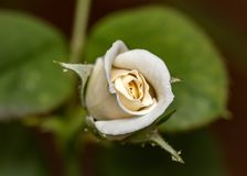 White rose bud flower with water drops in top view close up. Photo of White rose bud flower with water drops in top view close up stock photo