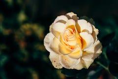 White rose bud in a garden. White rose bud in autumn garden royalty free stock photos