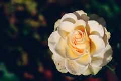 White rose bud in a garden. White rose bud in autumn garden. Close up stock image