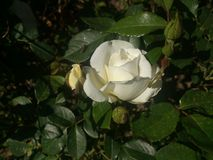 White rose bud between green leaves. Spring flowers in garden Royalty Free Stock Images