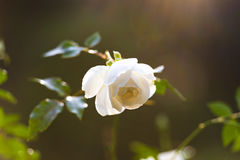 White rose bud. Sunlit white rose bud on flowerbed. Nature background Stock Photography