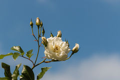 White rose with buds Royalty Free Stock Photography