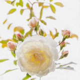 White rose with buds in backlighting. The background is blurred stock photos